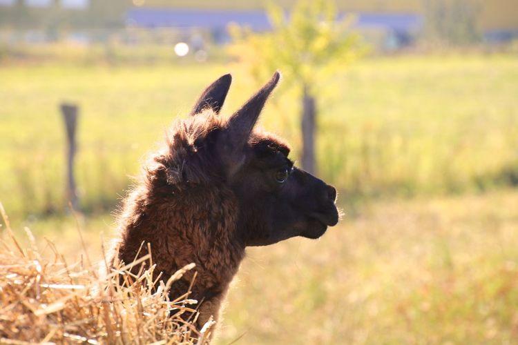 Side View Of Lama On Field