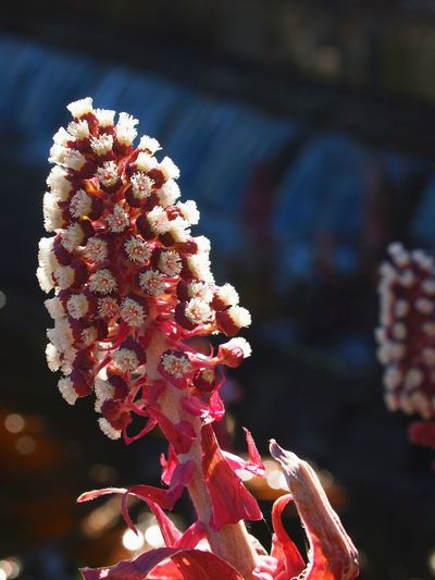 Butterbur Close-up Dark Background Day Flower Flower Collection Flower Head Focus On Foreground Fragility Freshness Macro Nature Nature_collection Naturelovers Petasites Pink