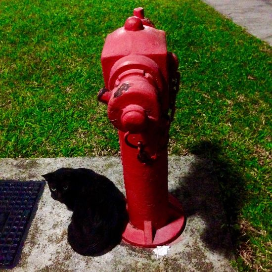 black cat & the red fire hydrant Black Cat Fire Hydrant Black Red Green Animal Photography Feline Portraits Feline Feline Friend FelineDomesticus Superstition  Superstitious Eye Of The Tiger