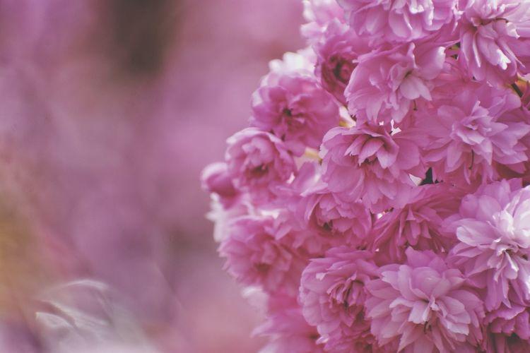 sakura branch in the park in gdynia Sakura Flower Head Flower Springtime Pink Color Petal Blossom Full Frame Botany Close-up Plant Cherry Blossom Fruit Tree Cherry Tree Stamen In Bloom Pollen Twig Orchard Plum Blossom