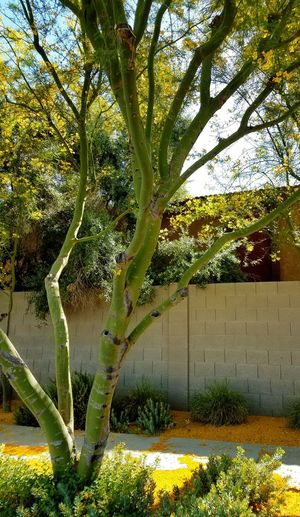 Palo Verde trees not only gift you with thousands of bright yellow flowers in the spring, but, they have lovely green bark. Tree Growth Nature Outdoors Day No People Beauty In Nature Branch Sky Palo Verde Tree Yellow Flowers Morning Light