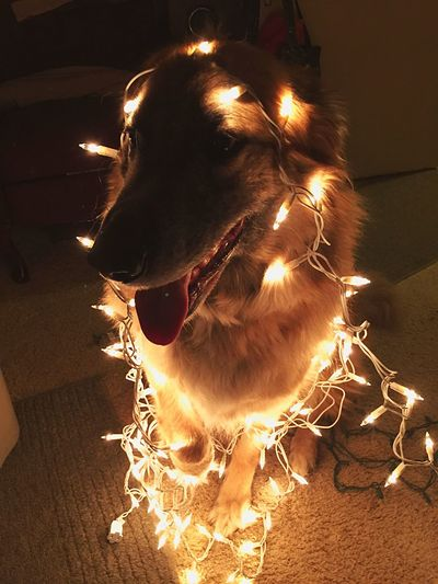 Pets One Animal Animal Themes Dog Mammal Domestic Animals Indoors  No People Night Close-up Illuminated Christmas Lights Rocky GSD Kent Ohio