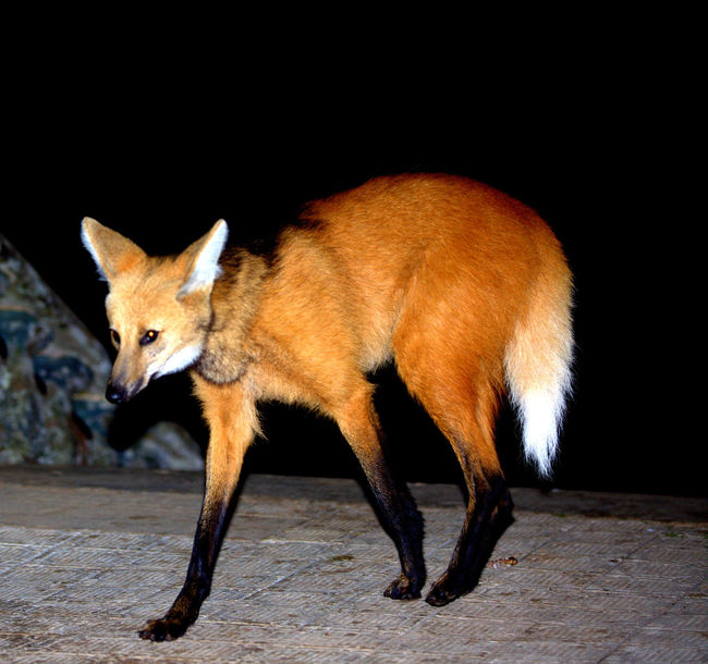 Animal Animal Themes Animal Wildlife Animals In The Wild Brazilian Wolf Copy Space Domestic Domestic Animals Fox Full Length Guará Wolf Mammal Nature Night No People One Animal Outdoors Pets Side View Vertebrate Walking