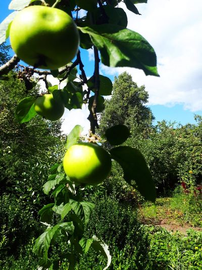 Apple Mecklenburg-Vorpommern Vellahn Sonnig Sunny Outside Garden Landscape Plantview ARTfoxHH Tree Fruit Leaf Agriculture Sky Close-up Green Color Plant Food And Drink Apple Blossom Apple Tree Apple - Fruit Apple Picking #urbanana: The Urban Playground EyeEmNewHere