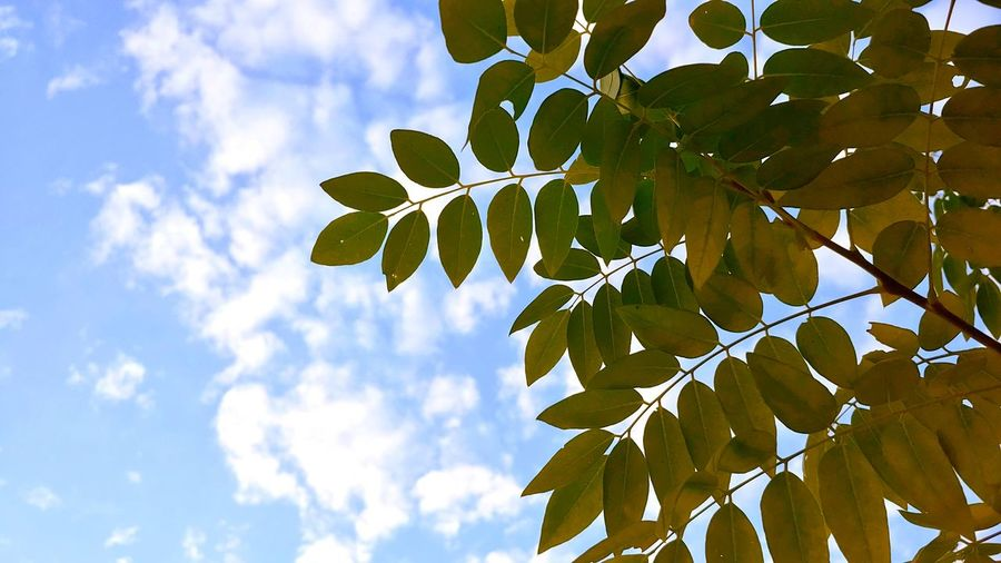 Tree Leaf Branch Blue Sunlight Sky Close-up Plant Cloud - Sky Green Color