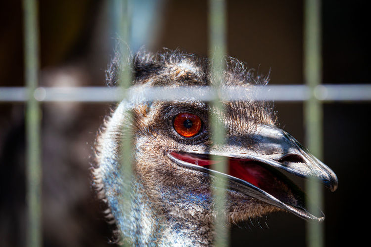 Close-up of emu in cage