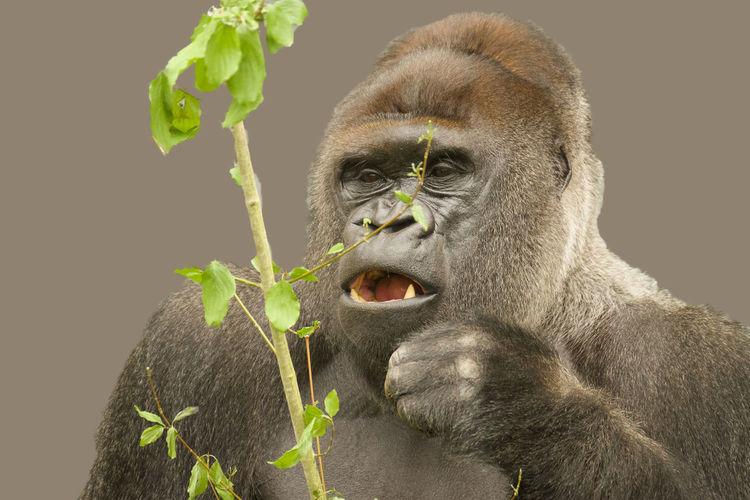 Portrait of monkey eating plant