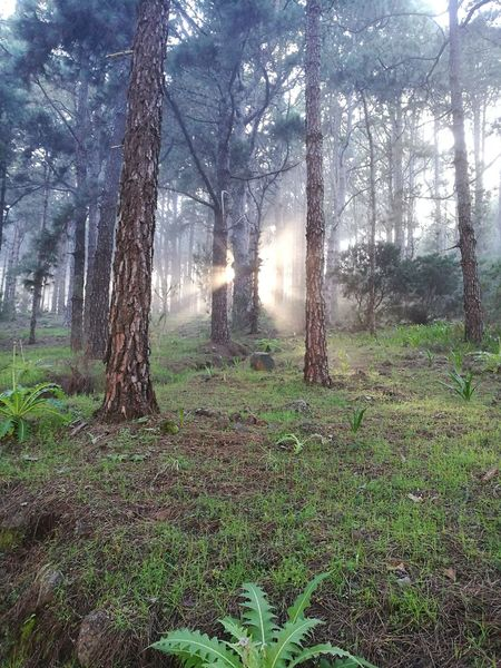 Las Raíces Tenerife Tree Nature Sunlight Beauty In Nature Green Color Tranquility No People