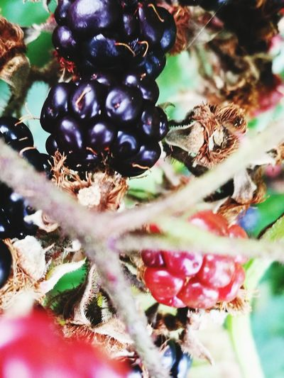 Close-up Nature Fruit Plant Outdoors No People Growth Food And Drink Agriculture Day Beauty In Nature Red Freshness
