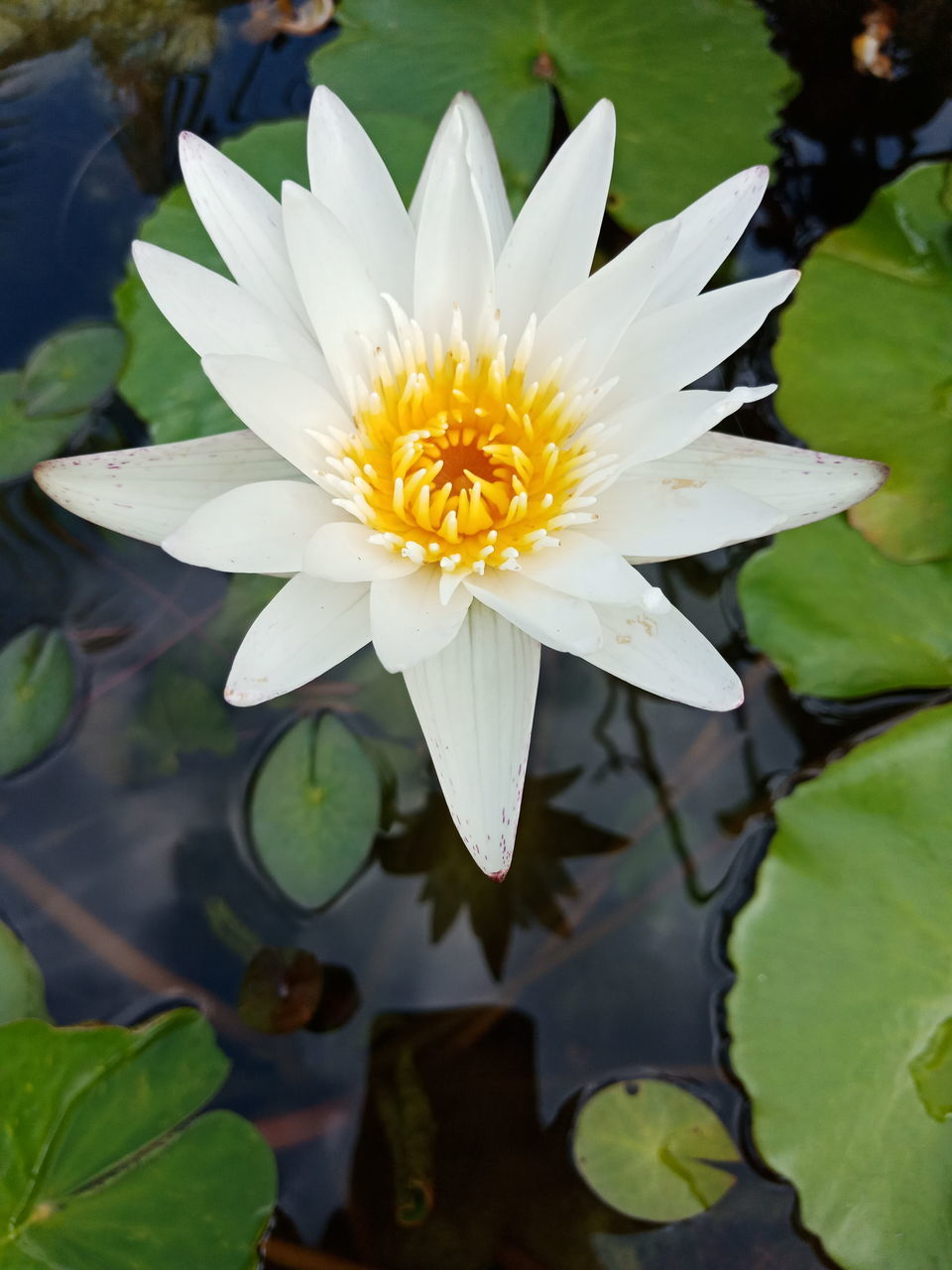 flower, flowering plant, water lily, vulnerability, plant, fragility, freshness, water, lake, petal, leaf, beauty in nature, growth, close-up, inflorescence, plant part, flower head, nature, lotus water lily, floating on water, no people, pollen