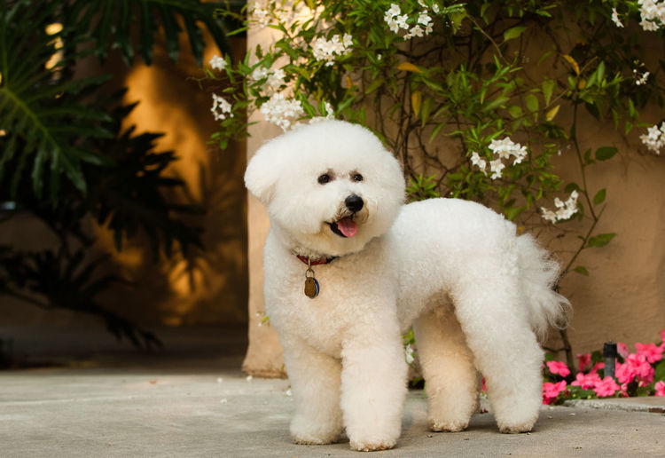 Bichon dog portrait Bichon Frise Dog Standing Toy Dog Group Animal Themes Bichon Bichon Frise Close-up Day Dog Domestic Animals Flowers Mammal No People Non-sporting One Animal Outdoors Pets Portrait White Color