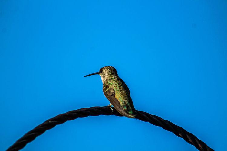 Female Rufus Hummingbird Juvenile Beauty In Nature Summertime Godscreation Nature Photography Holding On Precious Green Color EyeEm Nature Lover EyeEm Birds EyeEm Selects Bird Perching Blue Sky Close-up Feather  Hummingbird Tropical Bird Bird Feeder