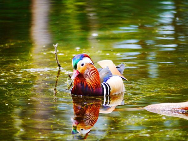 Mandarin Duck Animal Themes Bird Water Animals In The Wild Lake Duck One Animal Reflection Animal Wildlife Waterfront Day Nature Beauty In Nature Swimming No People Outdoors Happy Multi Colored Devon Beauty In Nature EyeEmNewHere