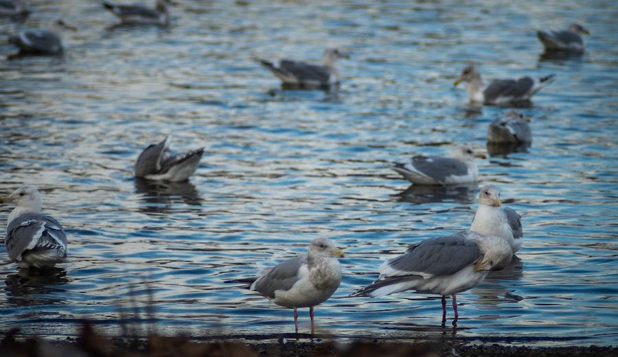 gulls Bird Water Ibis Swimming Water Bird