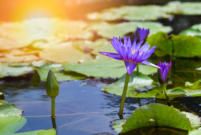 Beautiful and natural lotus flower or waterlily and lotus flower bud on the water surface with green lotus leaves, with sunrise background in a morning Beauty In Nature Blooming Close-up Day Floating On Water Flower Flower Head Fragility Freshness Growth Lake Leaf Lily Pad Lotus Lotus Water Lily Nature No People Outdoors Petal Plant Purple Tranquility Water Water Lily