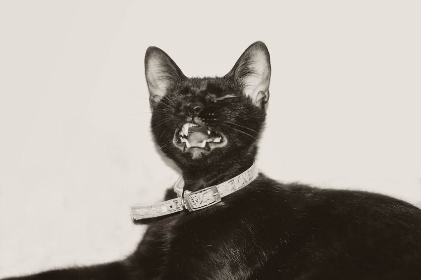 Just woke up from a nap Black And White Cat Cute Domestic Animals Feline Lovely Pets Yawning