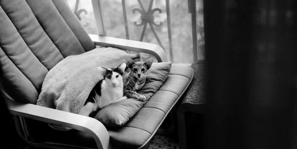 With little sister Oriental Cat Domestic Cat Mycat Catlover Cute Home Rainny Day Pet Portraits Black And White Collection