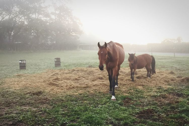 Horses Misty Morning Hazy  Horse Pony Farm Farm Life Farm Animals Hooves