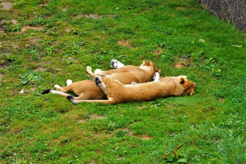 Animal Themes Day EyeEmNewHere Grass Lions Lying Down Mammal Nature No People Outdoors Relaxation Sleeping Two Lions