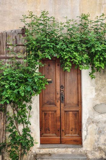Ivy growing on wooden door