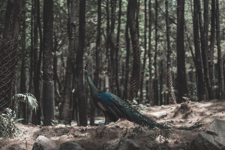 Peacock in forest