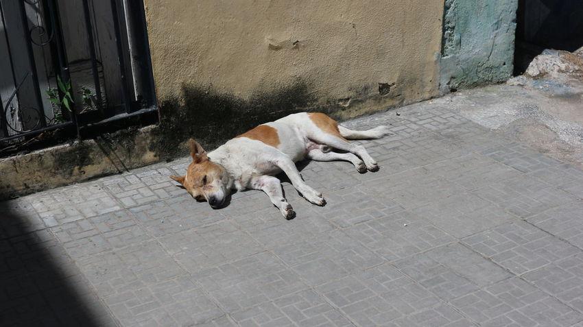Cuba Cute Pets Dogs Habana Habana Vieja Havana Havana, Cuba Animal Photography Animals Cuban Cuban Dogs Cuban Life Cute Dog Fauna Havana Vieja Pet Pets братья меньшие братья наши меньшие гавана животные куба собака собаки
