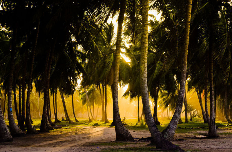 Scenic View Of Palm Trees Growing In Forest During Sunset