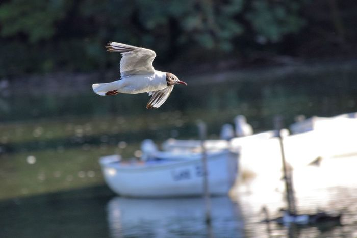 Black Headed Gull above a lake Bird Flying Spread Wings Mid-air Water Outdoors Nature Day Arundel Swanbourne Lake Wildlife Photography Reflection Inflight Black Headed Gull
