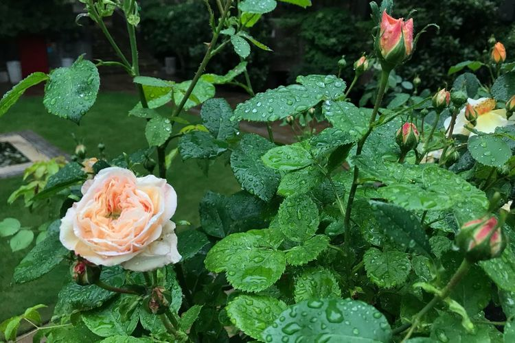 London Garden Green Rain Plant Flower Flowering Plant Beauty In Nature Growth Green Color Freshness Rosé Close-up Rose - Flower Flower Head No People