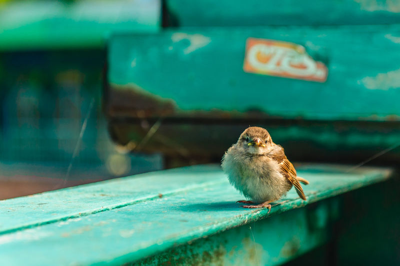 A young sparrow sitting on the bridge span Animal Themes Animal Vertebrate No People One Animal Bird Animal Wildlife Close-up Day Selective Focus Animals In The Wild Looking Sparrow Outdoors Focus On Foreground Green Color Looking Away Perching Nature Table Turquoise Colored