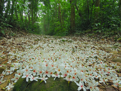 Quiet forest, floating under the white tung flowers, covered with country roads. Country Road Falling Natural Abundance Beauty In Nature Day Falling Flowers Flower Flower Head Forest Fragility Fresh Freshness Growth Leaf Nature No People Outdoors Plant Plant Flowers Scenics Tranquility Tree Tung Blossom White Flowers