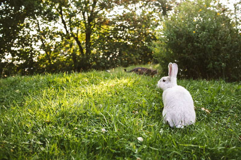 Rabbit and cat in a field