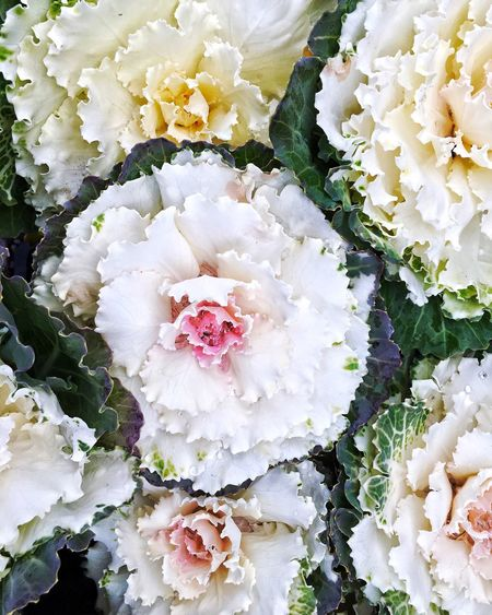 White cabbage is the rose of the winter Flower Freshness Fragility White Color No People Nature Close-up Day Flower Head Beauty In Nature Outdoors