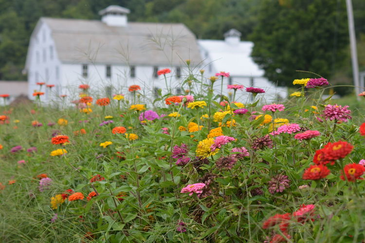 Colorful zinnia growing on field