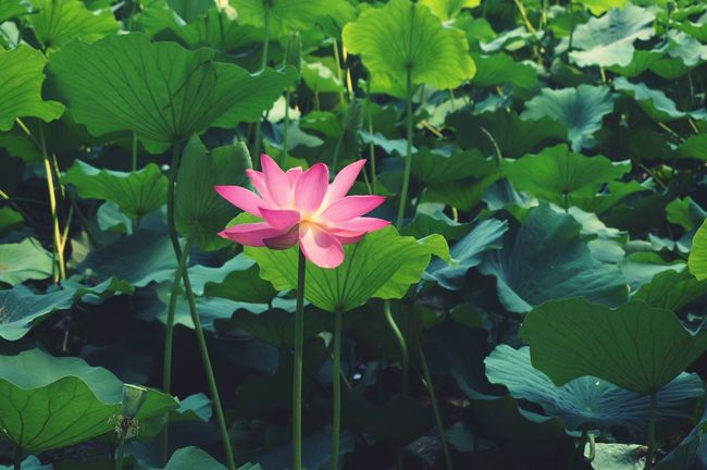 Nature On Your Doorstep Photos 365 Landscape Plants Lotus The Old Summer Palace Summer Pink Flowers Pink And Green Summer Flowers the lotus in The Old Summer Palace of summer 2015