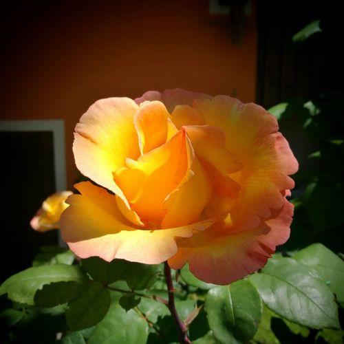 Flower Roses🌹 Naturallight Enjoying Life