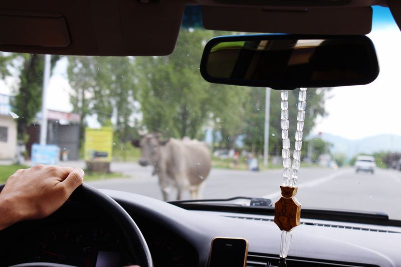 Roadtripping in Georgia Doad Home Travelling Travelling By Car Country Vew From Car Countryside Country Road From Back Seat Car Interior Animals On Street Cow On The Street Cow On Road Focus On Foreground Driving By Animal Cow Wild In City Animal In The City Roadtripping Car Mode Of Transportation Vehicle Interior Motor Vehicle Transportation Human Hand Windshield One Person Hand Car Interior Human Body Part Steering Wheel Outdoors The Traveler - 2018 EyeEm Awards The Traveler - 2018 EyeEm Awards Summer Road Tripping