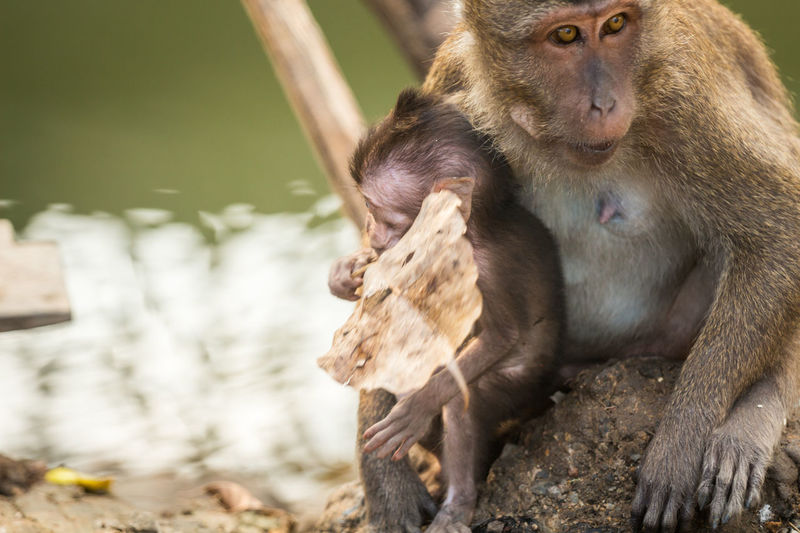 Close-up of long-tailed macaque with infant on rock at zoo