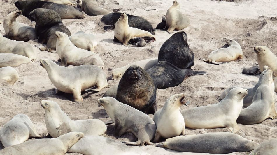 New Zealand Sea Lions Sub Antarctics Wildlife Auckland Islands Enderby Island Critical Threatened Species Hooked Sea Lion Whakahao Vulnerable Rare Endemic Sand Beach Animals In The Wild Animal Themes No People Animal Wildlife Nature Day Large Group Of Animals Outdoors Sea Life Colony Mammal