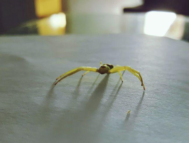 Aracnidos Aranhas Aranha Aranhaverde Arachnid Arachnophobia Exclusive  AndreLimaArachnid Photography Green Arachnids Aracnideos Aracnofobia