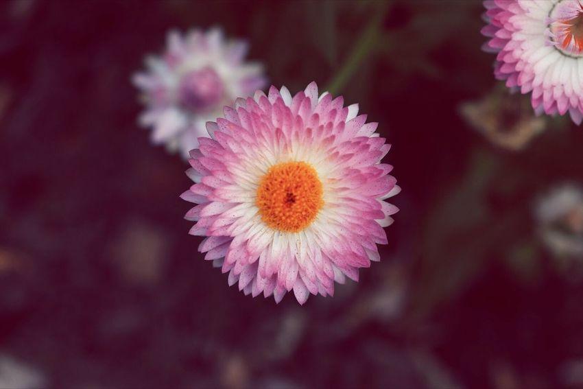 Dark Pink By Motorola