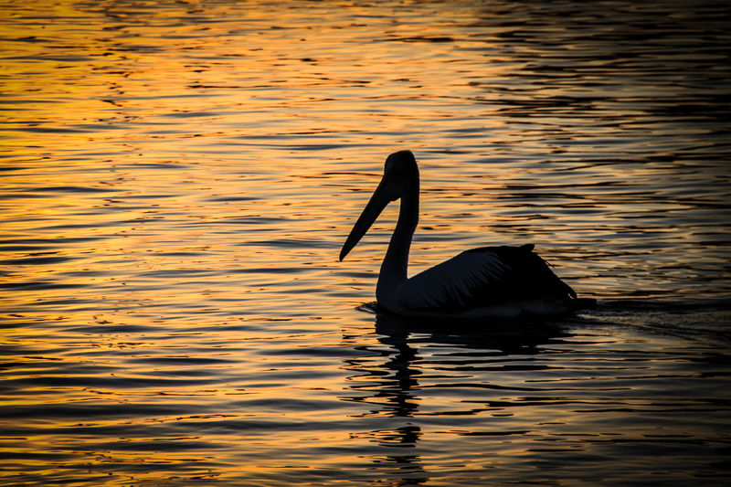 Animal Themes Animal Wildlife Animals In The Wild Bird Day Lake Nature No People One Animal Outdoors Pelican Swimming Water