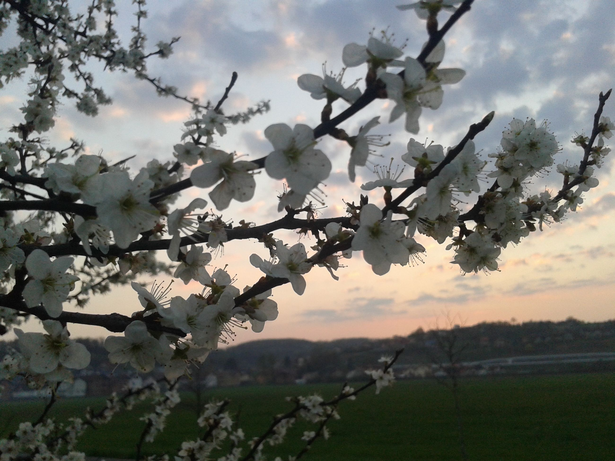 flower, freshness, sky, growth, tree, beauty in nature, branch, nature, fragility, blossom, springtime, cloud - sky, cherry blossom, in bloom, tranquil scene, tranquility, blooming, field, cherry tree, cloud