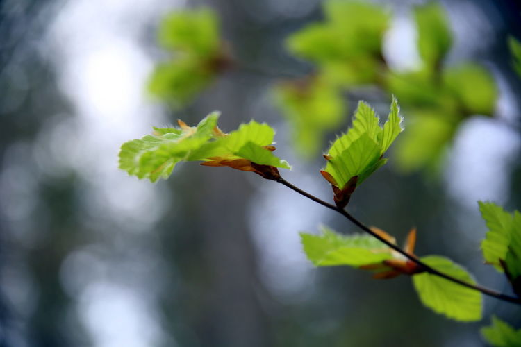 Close up of new beech leaves, with bokeh effect