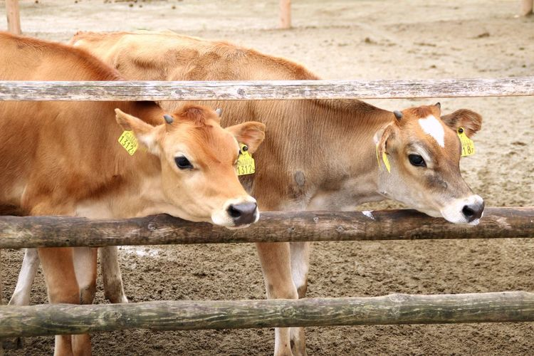 Canon Canon 70d Photography Cow Animal Themes Looking At Camera キャノン Japan Photography Focus On Foreground Japan Livestock Day 牛 牧場 Pasture Followme Follow4follow Follow Like4like Like