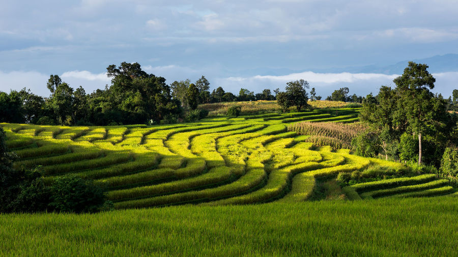Terraced rice
