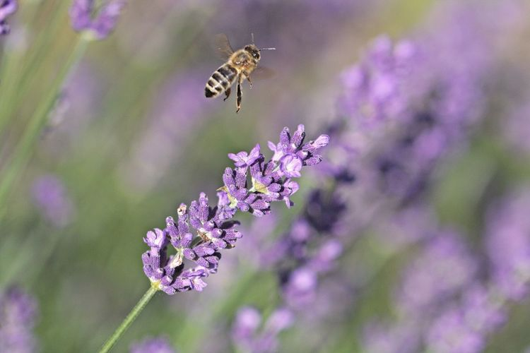 Pollination Flower Head Purple Petal Lavender Growth Close-up Freshness Animal Wildlife Vulnerability  Insect One Animal Animals In The Wild Beauty In Nature Animal Fragility Flower Animal Themes Insect Photography Insect Paparazzi Flying Bokeh Garden In My Garden Garden Photography Garden Flowers Beautiful Beautiful Nature Natural Beauty Scenics - Nature Naturelovers Flowers,Plants & Garden Flowers, Nature And Beauty Flower Collection Lovely Animal Photography Nature_collection Nature Photography EyeEm Nature Lover EyeEm Gallery Eye4photography  Beauty In Ordinary Things