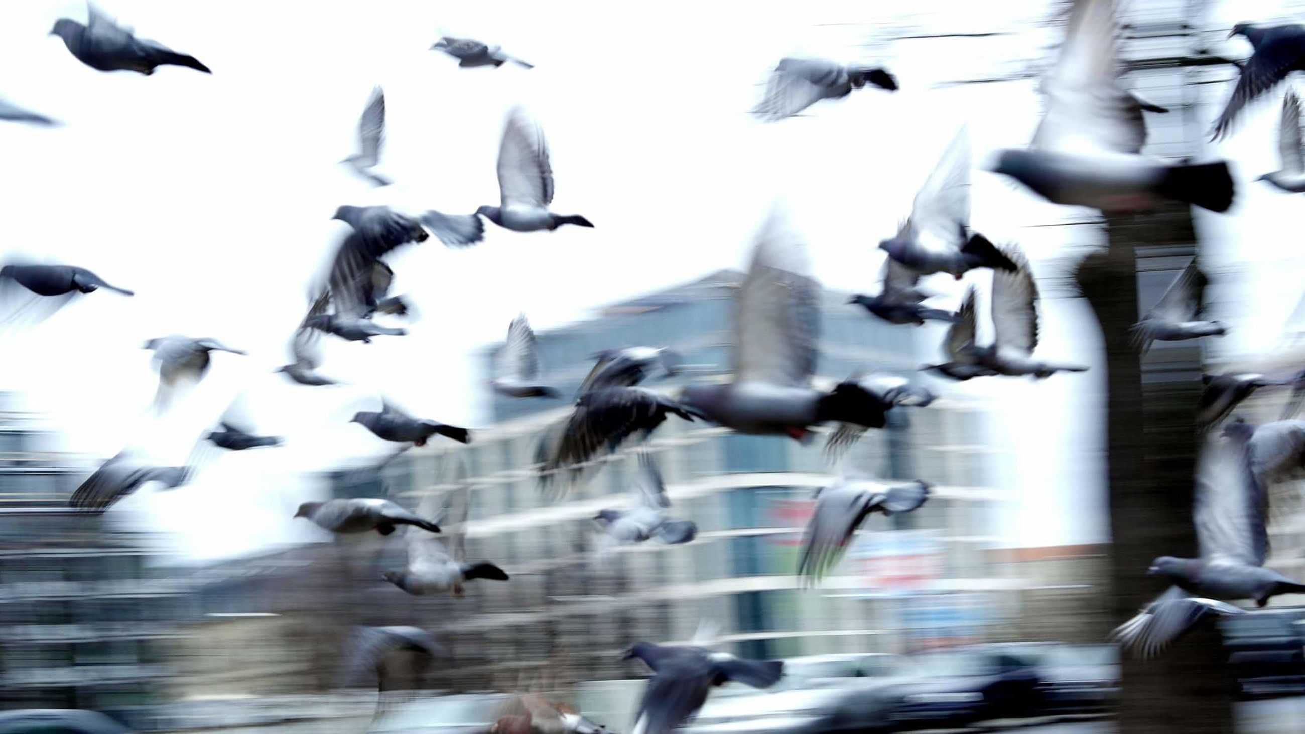 bird, flying, animal themes, animals in the wild, wildlife, flock of birds, motion, mid-air, pigeon, large group of people, on the move, blurred motion, street, spread wings, day, seagull, city life, outdoors, built structure
