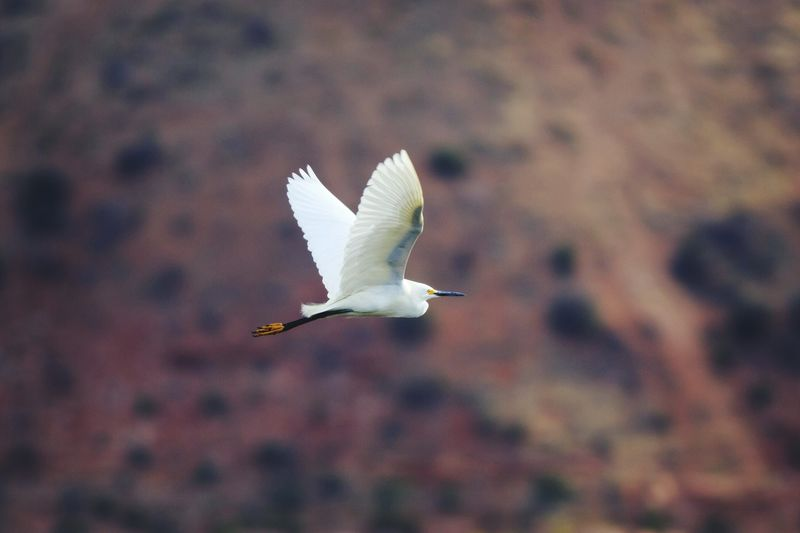 Side View Of Egret Flying Mid-Air