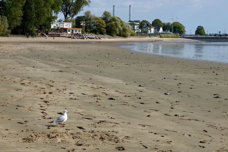 Lonely gull at the beach Elbe Beach Gull Fall Outdoor Outdoor Photography Elbe River Tree Land Water Plant Sand Beach Nature Outdoors Animal Beauty In Nature Sky Day Bird Tranquility Tranquil Scene Scenics - Nature